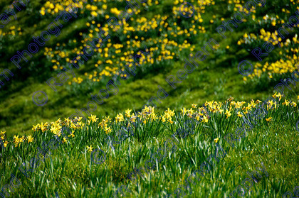Daffodill field 